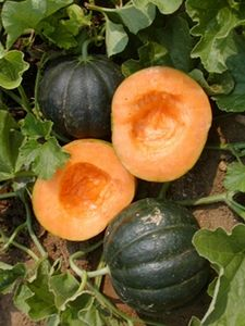 Noire Des Carmes (1787) (a.k.a. Early Black Rock Melon, Des Carmes Canteloupe) A French heirloom that is named for the Carmelite Monks who once grew them in France. Noire des Carmes is in the true cantaloupe group and looks quite different than most melons. The very dark green (almost black) skin of this melon turns yellow to orange when ripe and averages from 2 to 3 lbs. The flesh is orange, sweet and very fragrant. (85 days)
