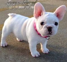 Frenchie ~  Look at this cute baby!  Adorable face!  :)  <3