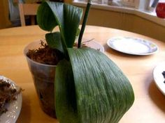 This shows what happens with overwatering and poor drainage to the orchid potting medium. This was my friends orchid and was bought 6 months ago. She was tol...