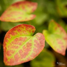 Epimedium, once called Barrenwort or Bishop's Hat, grows 6-12 inches tall and develops pretty heart-shape leaves topped with clusters of starlike yellow, white, lavender, or rose flowers in April and May. The 15 Most Underused Perennials