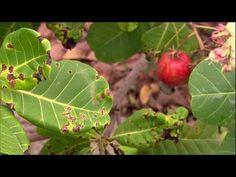 CANAL DE VÍDEOS AGRÍCOLAS: Controle de Pragas e Doenças no Caju Plant Leaves, Fruit, Plants, Pest Control, Log Projects, Places To Visit, Food, Flora, Plant