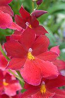 Orchid Burrageara Nelly Isler flowers
