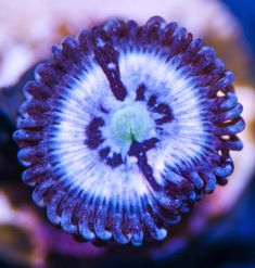 My Reef to Yours - Live Coral Frags Coral Frags, Live Coral, Pink Lotus