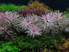 Freshwater Aquarium Plants, Live Aquarium Plants, Nature Aquarium, Planted Aquarium, Freshwater Fish, Biotope Aquarium, Tropical, Different Plants, Aquatic Plants