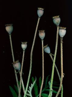 black botanical