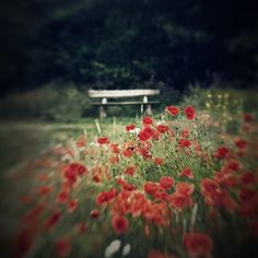 Lensbaby Erfahrungen - Glücksmomente Andrea Lück Andreas, Dandelion, Flowers, Plants, Red, Sweet, Candy, Dandelions, Plant