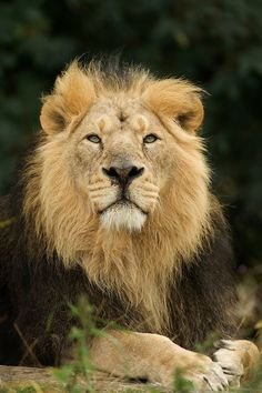 Asian Lion (Panthera leo persica), India, captive