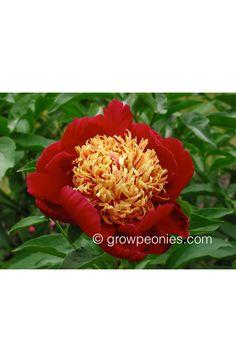 Sword Dance Peony — Countryside Gardens, Inc. Sword Dance, Buy Peonies, Peony, Countryside, Bloom, Gardens, Flowers, Plants, Red