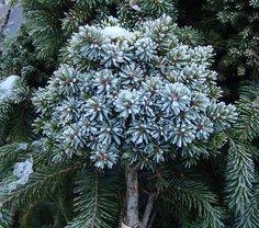 Picea omorika Fuchs