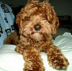 Cockapoo - #1 choice! Want to send this to breeders and say when one is born that will look exactly like him, I'll buy!