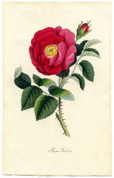 Rose Botanical Print Download -- the graphics fairy -- vintage images and clip art