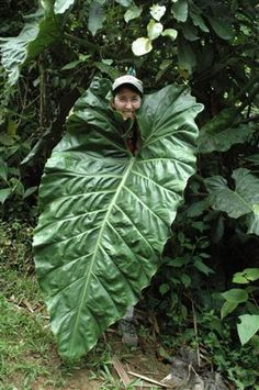 Plants grow BIG in the Amazon Rainforest!