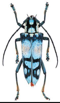 Tmesisternus sp. (indonesia   Size -2cm