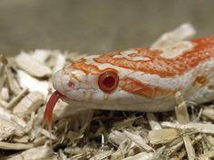 Candycane Corn Snake Eye
