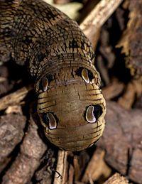 Deilephila elpenor - elephant hawk moth caterpillar, close-up to its posterior 'false eyes'
