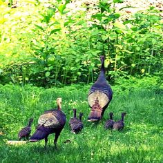Turkey family in our yard. #photography #photo #photos #pic #pics #picture #pictures  #birds #turkeys