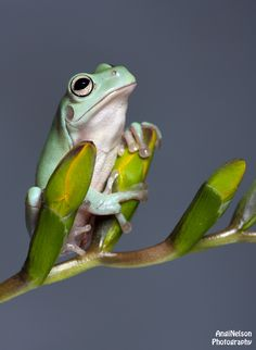White's Tree Frog, my favourite kind of frog! Cute Baby Animals, Funny Animals, Wild Animals, Dumpy Tree Frog, Whites Tree Frog, Pet Frogs, Red Eyed Tree Frog, Funny Frogs, Animal Photography