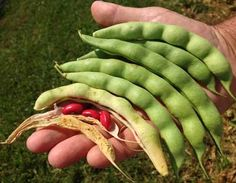 Pole Bean Red Stick D13521 (Red) 25 Heirloom Seeds by David's Garden Seeds David's Garden Seeds http://www.amazon.com/dp/B00T8INBVU/ref=cm_sw_r_pi_dp_Qg4Avb1XG9B1Y