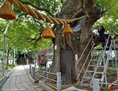 A-bombed camphor tree, Sanno Shrine, Nagasaki: Located only 800 meters away from the explosion epicenter