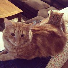 Un chat trouve son sosie miniature et décide de l'adopter