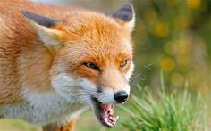 Londoners call in snipers to shoot dangerous urban foxes - Telegraph