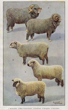 Merino sheep breeds 1901 sheep breeds merino for Merinos grafik