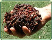 lombrices rojas y alimento (sustrato)