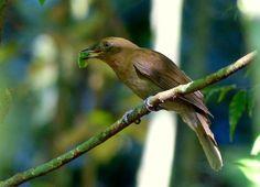 flautim-marrom (Schiffornis turdina) por Mel Simas | Wiki Aves - A Enciclopédia das Aves do Brasil