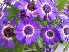 Purple flowers.  . The pride of the garden