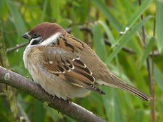 The American tree sparrow, formerly known as the winter sparrow, is a medium-sized sparrow. It previously was classified under the genus Spizella, but multilocus molecular evidence suggested placement in its own genus.