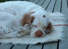 Clumber Spaniel ~ Classic Look ~ Clumber Spaniel in Finland ~ How'd he get way the heck over there?