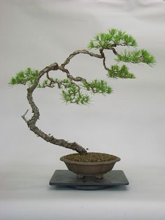 The ancient Japanese art of bonsai. Creating a natural appearance by decades of meticulous management.