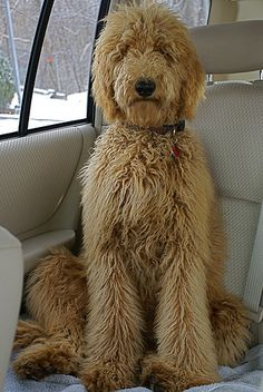 poodle hairstyles - Google Search