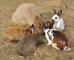 Capybara and bunnies https://www.facebook.com/rockyridgerefuge/photos/a.118012491574042.7427.117805311594760/897644686944148/?type=1&theater