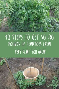 There are 10 easy steps to growing high-yield tomatoes! Get the right types of tomatoes to grow in your climate. If you need tips, talk to a local expert. Lay the plants on their sides. Plant them …