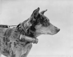 WAR DOGS DURING FIRST WORLD WAR WESTERN FRONT 1918 (Q 9277) A close-up portrait of the head and shoulders of a British Army messenger dog, clearly showing the tin cylinder in which the message is carried. This photograph was taken at Etaples on 20 April 1918.
