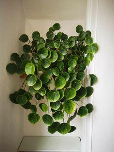 House Plants Decor, Plant Decor, Cool Plants, Green Plants, Unique Plants, Rare Plants, Plante Crassula, Indoor Garden, Indoor Plants