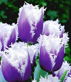 Tulip, Blue Cummings