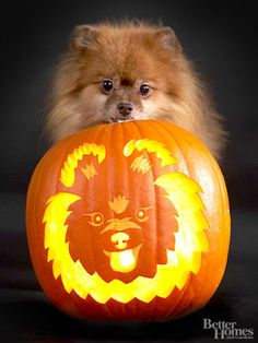 Pomeranian Pumpkin-could easily be modified to look like Pippin