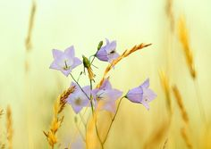 Harebell in Hay