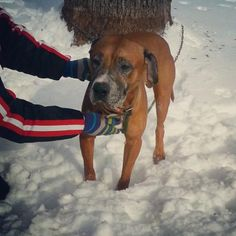 URGENT!!! PLEASE SPONSOR JED!!!! Youngstown, OHIO...Available on: 2/12Contact: fofmcdp@gmail.comJed (ID #109) is an older male boxer (possibly hound) mix. He was found as a stray near the Southern Park Mall and appears to have had ACL surgery on one of his back legs at some point. We are praying that...