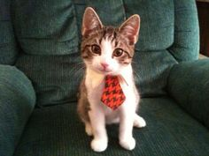Cat with a tie - would be better if it were a bow tie. Amused nonetheless.