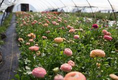 Floret_How To Grow Ranunculus-3