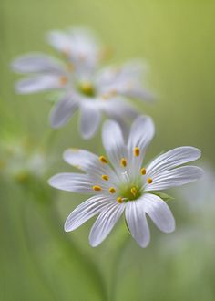 Stitchwort Re-pinned I am not responsible  for any spam attached to the  photo click at your own risk.