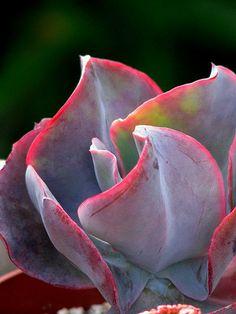 "Echeveria ""Etna"" - Flickr - Photo Sharing!"