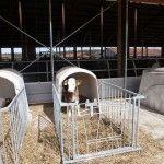 Manitoba calf - a sire of Bayern Genetik.