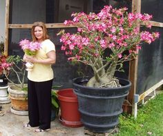 Fun And Eco-Helpful Solutions To Remodel Your Yard Large Desert Rose Plants Thread: My Desert Rose Has Bloomed Tropical Landscaping, Tropical Plants, Outdoor Plants, Garden Plants, House Plants, Dessert Rose Plant, Desert Rose Care, Rose Plant Care, Hosta Gardens