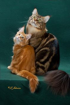 Chemicoons Theobromine and his son Chemicoons Firelight of Concordance --- both international winning #Maine Coons