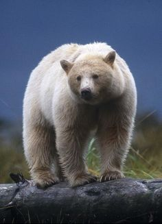 Spirit Bear, a subspecies of the American Black Bear. It is noted for about 1/10 of their population having white or cream-coloured coats. It is not albino or related to the polar bear in any way