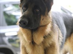 German shepherd | The Definitive Ranking Of Dog Breeds